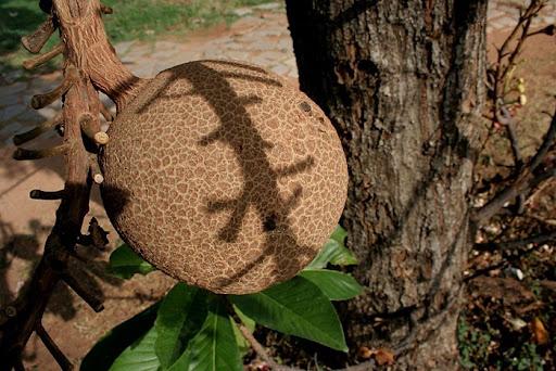 cannonball-tree (9)