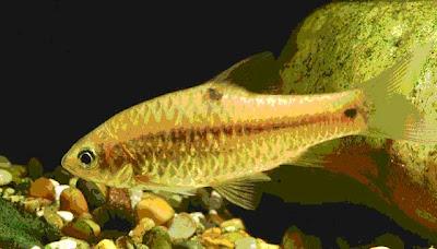 Ikan Beunteur dalam akuarium di Bali