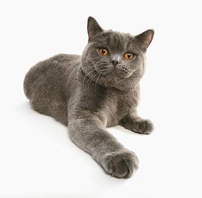 ผลการค้นหารูปภาพสำหรับ british shorthair cat smile