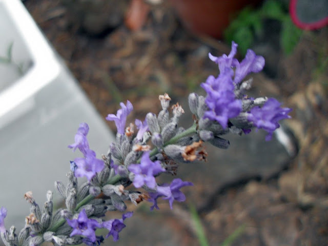 lavender growing in coffee compost