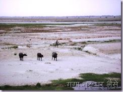 Ganga Buffelos
