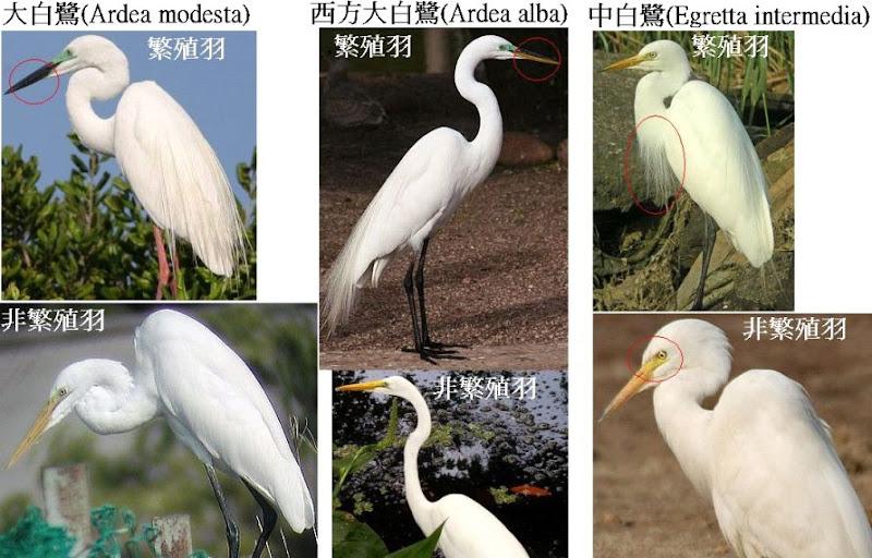 尺幅千里: 大白鷺與中白鷺細辨