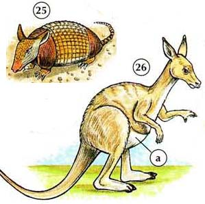 25. armadillo 26. kangaroo a. bag