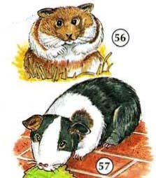 56. hámster 57. conejillo de Indias