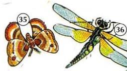 35. polilla 36. libélula