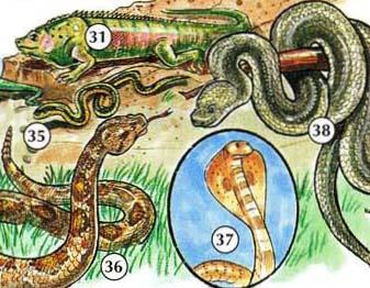 31 ။ Iguana 35 ။ 36 serpiente ။ serpiente က de cascabel 37 ။ မြွေဟောက် 38 ။ ဘိုအာနှင့်,