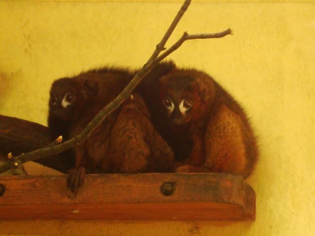 Lemury czerwonobrzuche nie palą się do wyjścia na dwór...