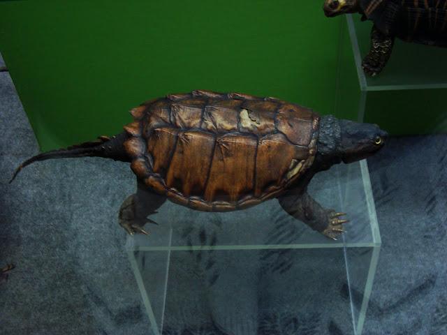 Muzeum Przyrodnicze we Wrocławiu - Żółw aligatorowy