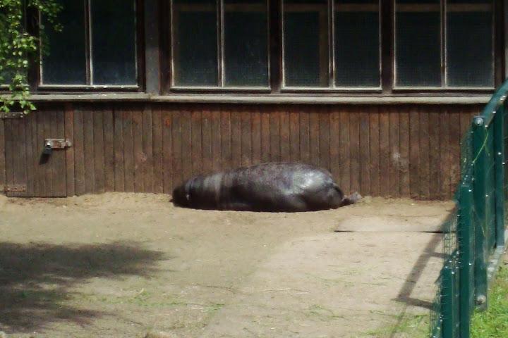 Hipopotam czy wielki kleszcz?