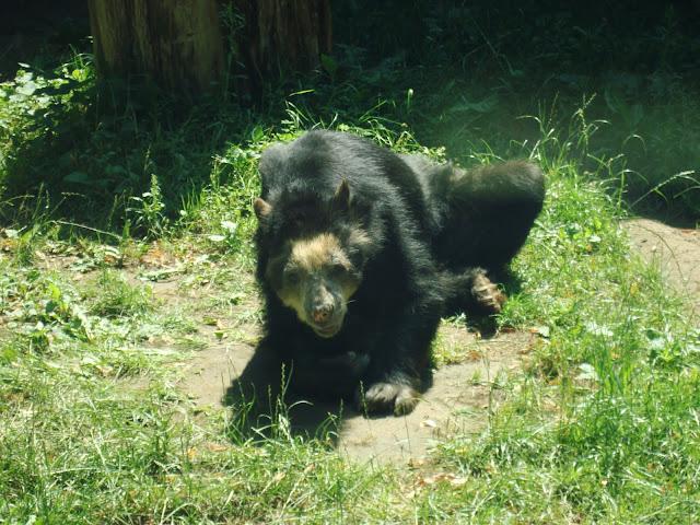 Bueno - niedźwiedź okularowy z wrocławskiego zoo (zdjęcie zrobione w lipcu tego roku)