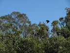 flying fox in port macquarie