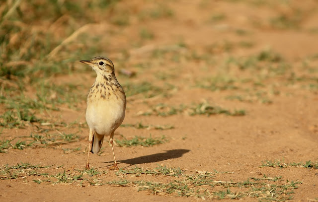 """""""Paddy field pipit"""" looking for an early morning breakfast"""