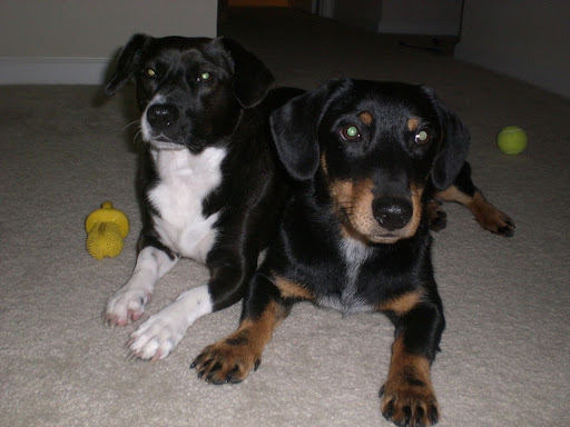 Sweet Dorgi dogs... How could you not want one???