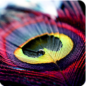 Color Feathers Beautiful Theme