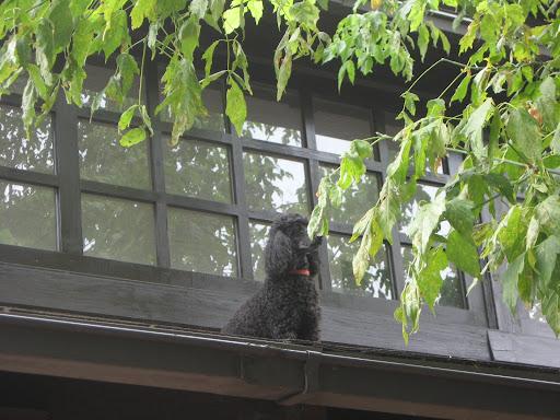 Pes na vroči pločevinasti strehi