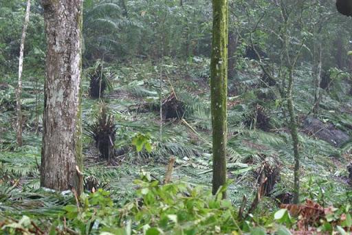 Cl-43 Bosque Urbano de Clayton está siendo talado por Carlos Pasco, conocido destructor ambiental de Panamá