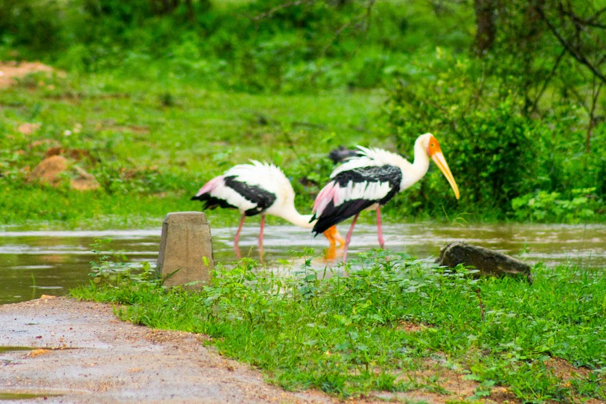 Painted storks hanging out on a partially flooded road in Yala after a heavy rainfall.
