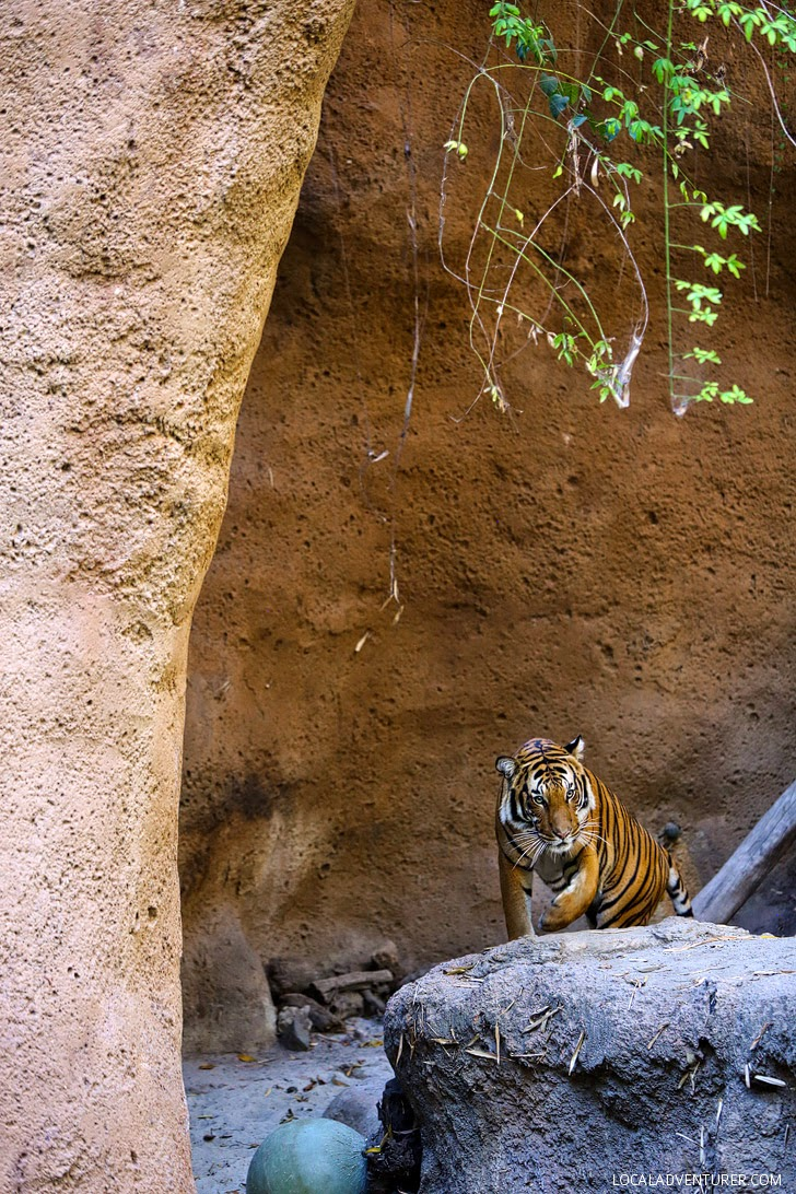Tiger San Diego Zoo Animals.