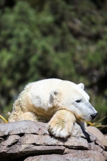 Polar Bear San Diego Zoo California.