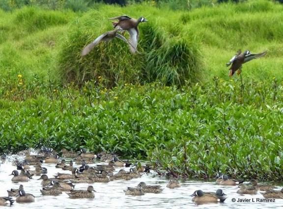 Cientos de patos canadienses en el humedal El Cortijo