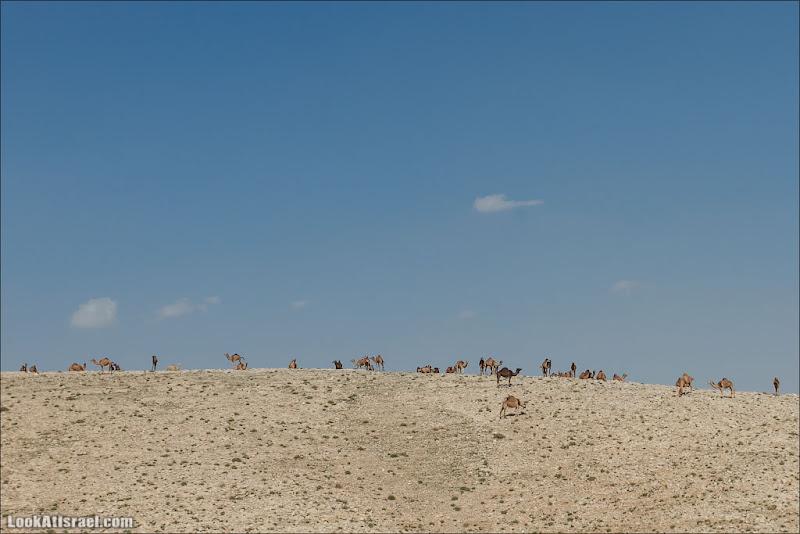 Верблюды прилетели