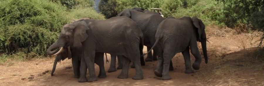Manyara'da yol kesen filler