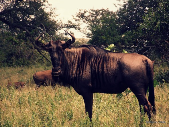 Blue Wildebeest at the Hluhluwe Imfolozi Game Reserve