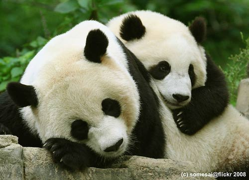 Animales cariñosos: Pandas