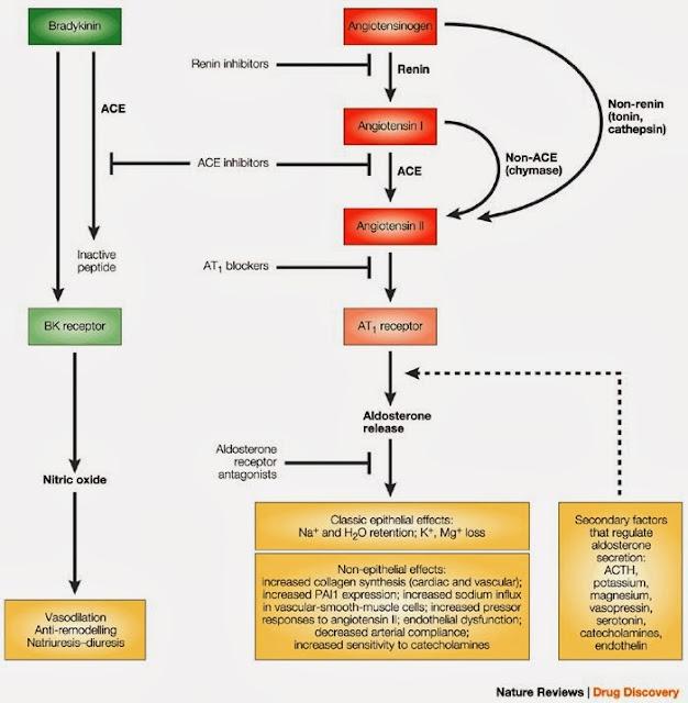 腎素-血管收縮素-醛固酮系統(Renin-Angiotensin-Aldosterone System. RAAS) - 小小整理網站 Smallcollation