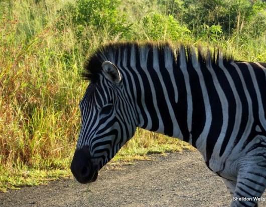 Plains Zebra at the Hluhluwe Imfolozi Game Reserve
