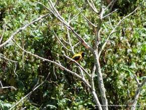 Toche perchando en un árbol