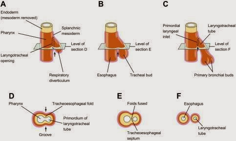 食道發育(development of esophagus) - 小小整理網站 Smallcollation