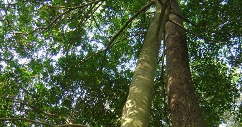 臺灣紅豆杉 抗癌藥物 紫杉醇 的另一個家 ~ 活氧養生 醫美聖品 臺灣紅豆杉
