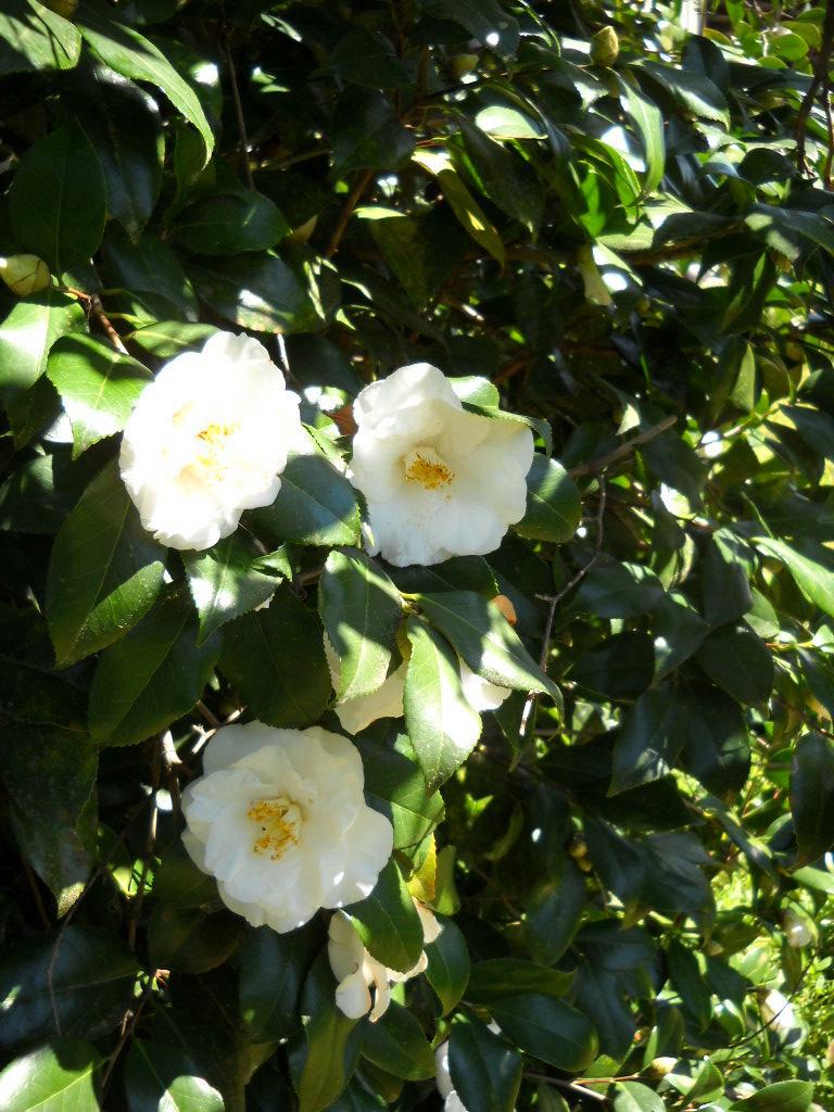 Snow On The Mountain Camellia : mountain, camellia, Camellia, Flower, Mockingbird, Wallpaper