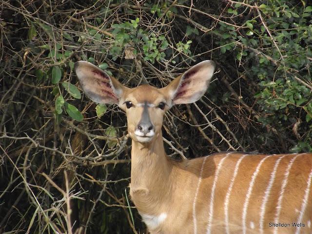 Nyala Doe at Hluhluwe Imfolozi Game Reserve