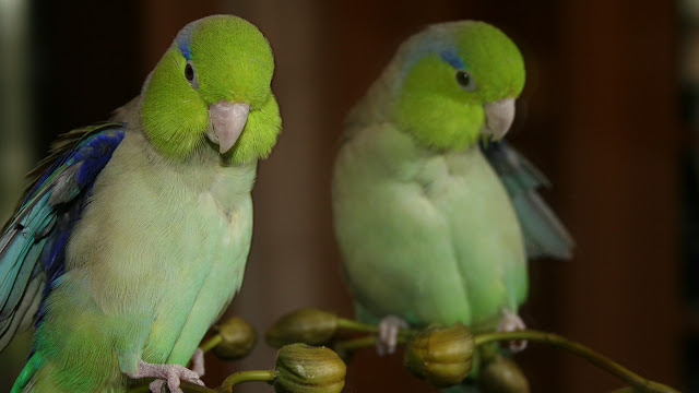 celestial parrotlets hand tamed