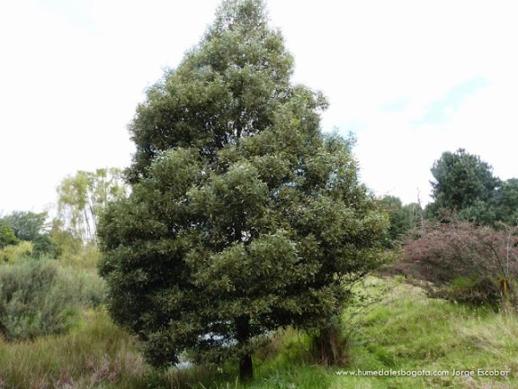 Acacia negra, Humedal El Salitre