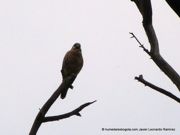 Cernicalo (Falco Sparverius)  Humedal la libélula Bogotá