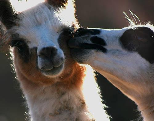 Animales cariñosos: Llamas