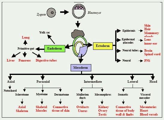 胚層(germ layer) - 小小整理網站 Smallcollation