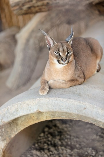 Caracal Pictures at Zoo near Las Vegas NV.