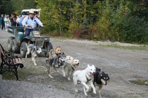 Huskies pulling a make-do sled. ATVs are used to train the dogs off tracks