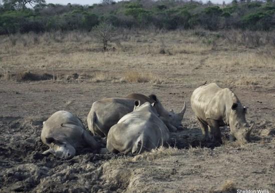 crash of rhino at the hluhluwe imfolozi game reserve