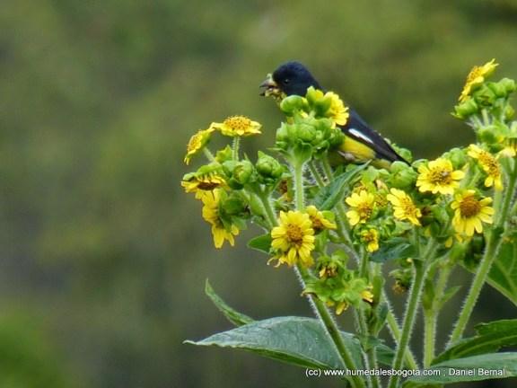 Jilguero alimentándose de las flores del arboloco