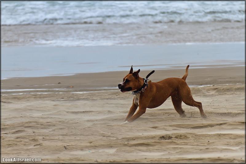 Боксер на пляже