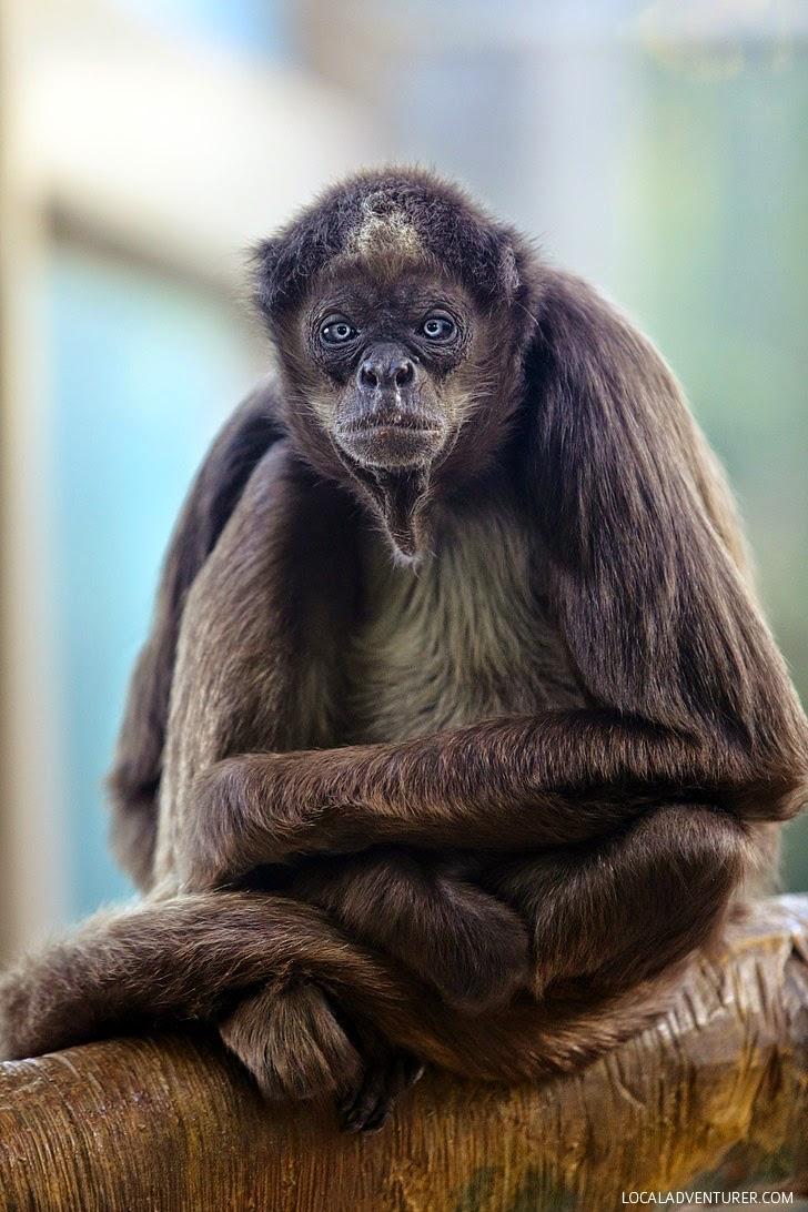 Columbian Brown Spider Monkey San Diego Zoo Animals.