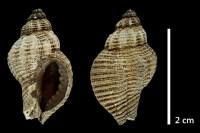 Faunenliste Krinke - Bremer Mineralien- & Fossilienfreunde