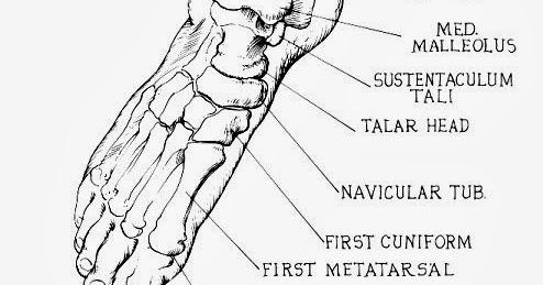 足部骨頭(Foot bones) - 小小整理網站 Smallcollation