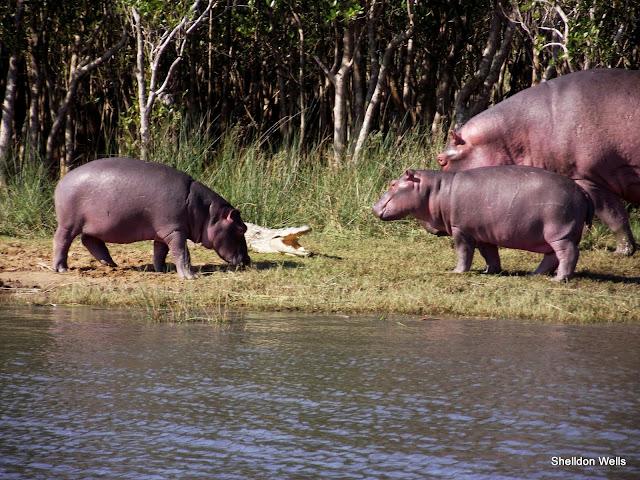 Curious Hippo get close to a Nile Crocodile