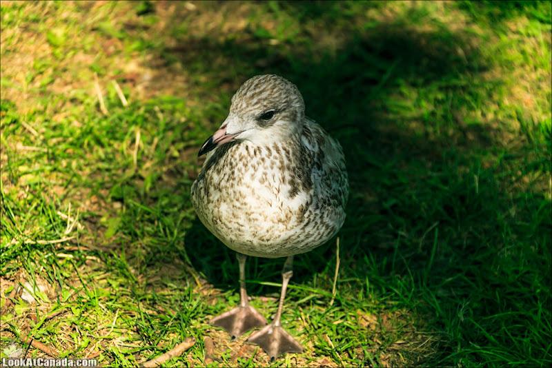 LookAtCanada.com / Toronto LakeGull-Gull